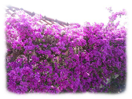 Alassio bloemen